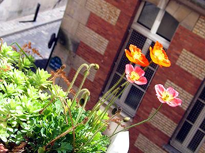 Mena's Mohn Balkon Paris 3.6.09